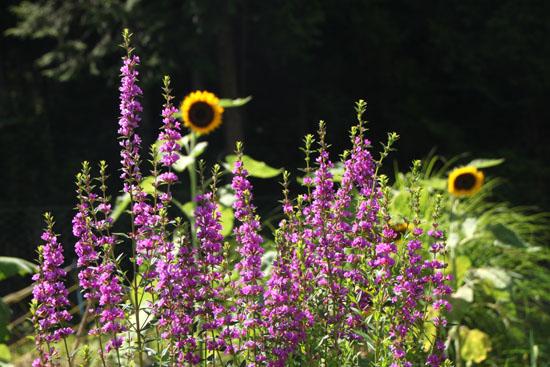 菜園 夏の盛り_e0048413_21421362.jpg