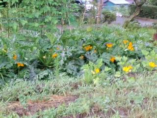 ズッキーニの花は黄色いのです。_d0027486_82634.jpg