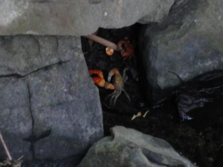 せんなん里海公園陸ガニ生態調査サポート第3回目_c0108460_0472877.jpg