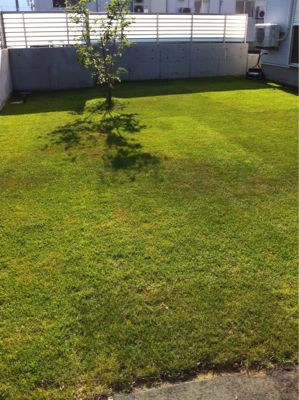 今日の芝生_e0246271_11463840.jpg