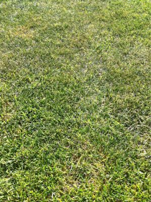 今日の芝生_e0246271_11463928.jpg