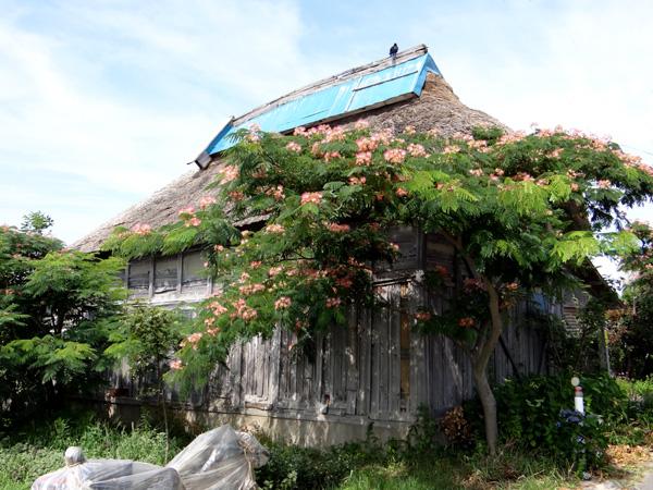 茅葺き、合歓木、ヒツジグサ_a0136293_1555654.jpg