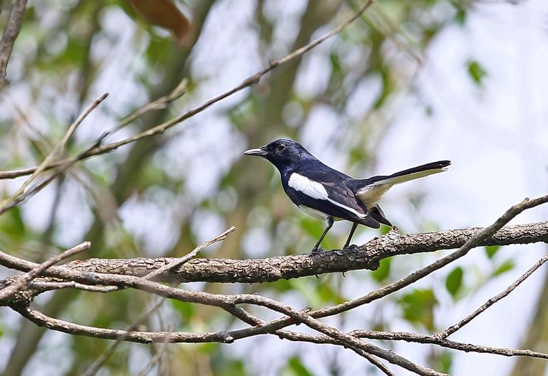 台湾の野鳥「シキチョウ♂・キバラシジュウカラ・ヤマガラ」_d0195897_12273093.jpg