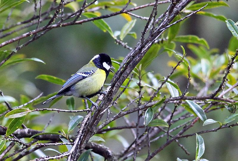 台湾の野鳥「シキチョウ♂・キバラシジュウカラ・ヤマガラ」_d0195897_12301422.jpg
