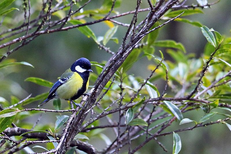 台湾の野鳥「シキチョウ♂・キバラシジュウカラ・ヤマガラ」_d0195897_12304560.jpg