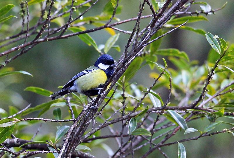 台湾の野鳥「シキチョウ♂・キバラシジュウカラ・ヤマガラ」_d0195897_123149.jpg