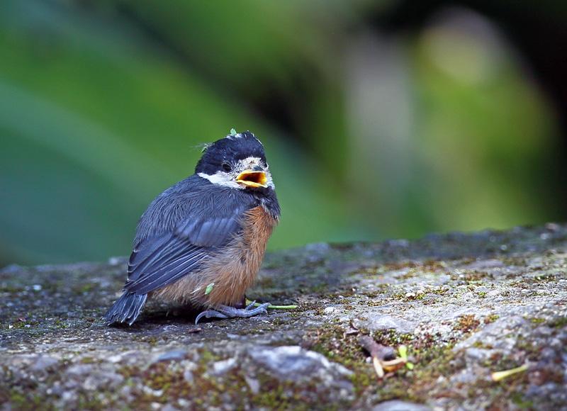 台湾の野鳥「シキチョウ♂・キバラシジュウカラ・ヤマガラ」_d0195897_12322552.jpg