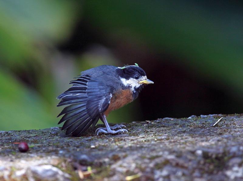 台湾の野鳥「シキチョウ♂・キバラシジュウカラ・ヤマガラ」_d0195897_12324354.jpg