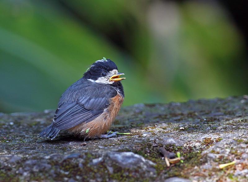台湾の野鳥「シキチョウ♂・キバラシジュウカラ・ヤマガラ」_d0195897_1232560.jpg