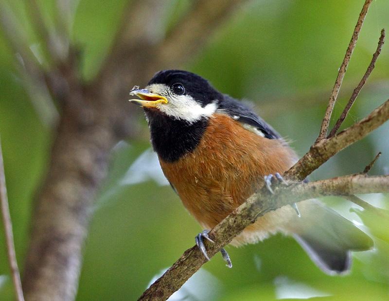 台湾の野鳥「シキチョウ♂・キバラシジュウカラ・ヤマガラ」_d0195897_1233276.jpg