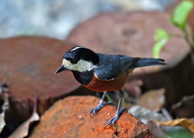 台湾の野鳥「シキチョウ♂・キバラシジュウカラ・ヤマガラ」_d0195897_123401.jpg