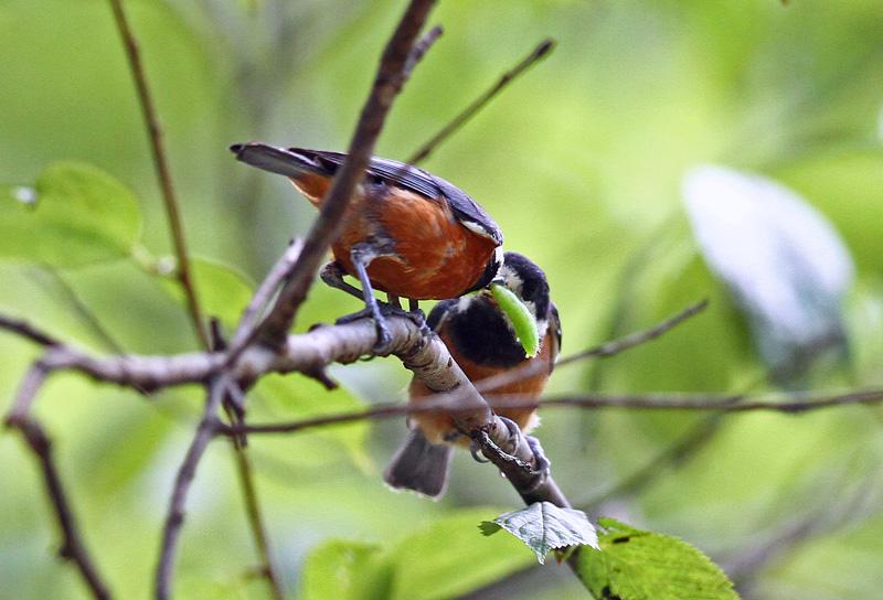 台湾の野鳥「シキチョウ♂・キバラシジュウカラ・ヤマガラ」_d0195897_12342056.jpg