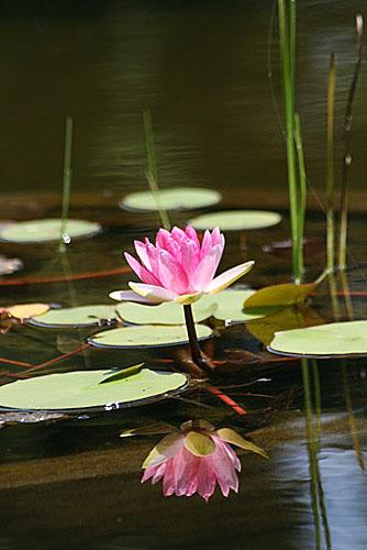 スイレン池で(7/31武蔵丘陵森林公園)_f0030085_20145892.jpg