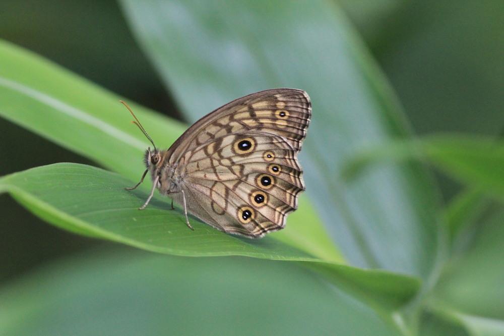 キマダラモドキ  ♀雌はこれからのよう。  2012.8.4②群馬県_a0146869_20122925.jpg
