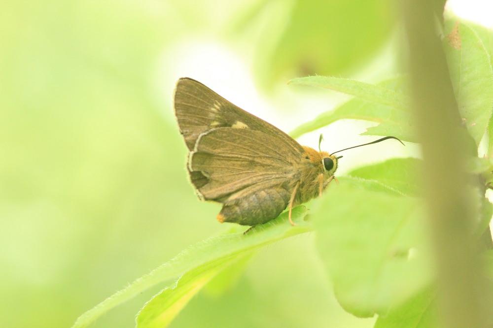 キマダラモドキ  ♀雌はこれからのよう。  2012.8.4②群馬県_a0146869_20164173.jpg