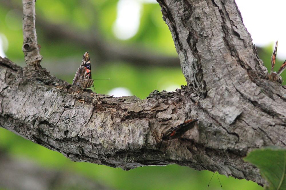 キマダラモドキ  ♀雌はこれからのよう。  2012.8.4②群馬県_a0146869_20173068.jpg