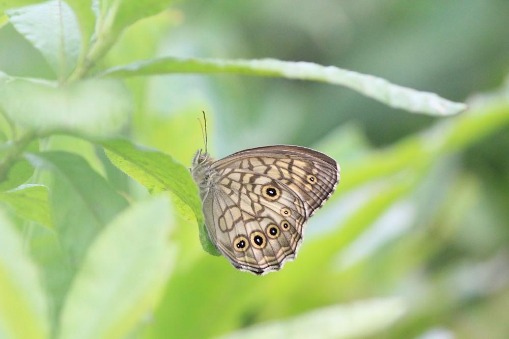 キマダラモドキ  ♀雌はこれからのよう。  2012.8.4②群馬県_a0146869_20182270.jpg