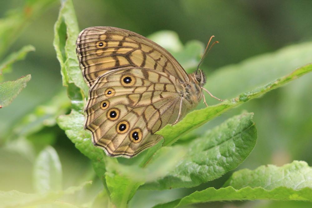 キマダラモドキ  ♀雌はこれからのよう。  2012.8.4②群馬県_a0146869_2018481.jpg