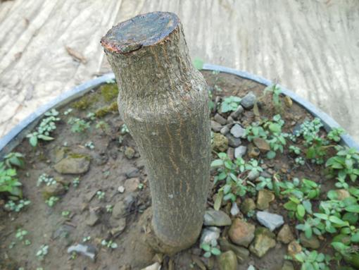 マンゴー栽培を諦める_b0028299_19165965.jpg