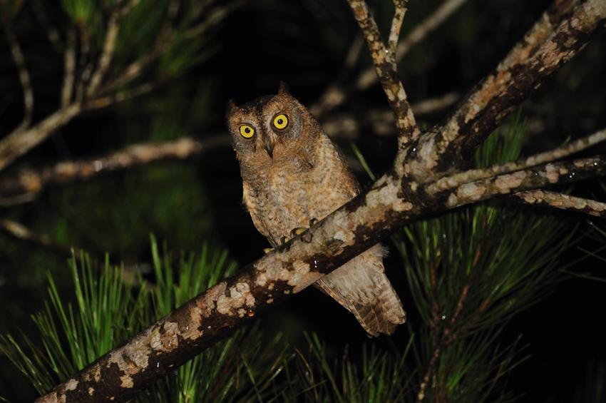 リュウキュウコノハズク(Ryukyu Scops Owl)~2012.07_b0148352_1075913.jpg