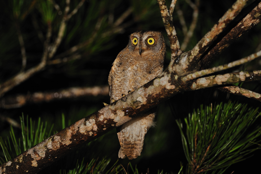 リュウキュウコノハズク(Ryukyu Scops Owl)~2012.07_b0148352_1082026.jpg