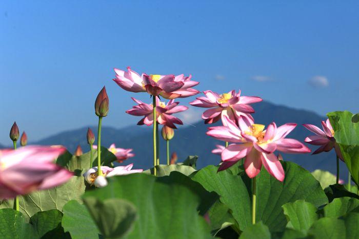 蓮の花、満開です。カエルも蜂も大喜び_d0148902_22575519.jpg