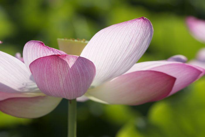 蓮の花、満開です。カエルも蜂も大喜び_d0148902_225831.jpg