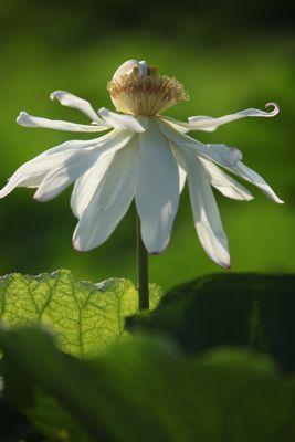 蓮の花、満開です。カエルも蜂も大喜び_d0148902_235127.jpg