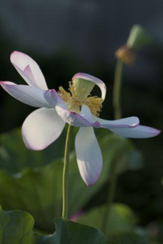 蓮の花、満開です。カエルも蜂も大喜び_d0148902_2363288.jpg