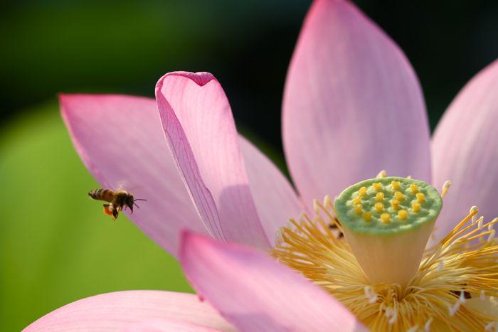 蓮の花、満開です。カエルも蜂も大喜び_d0148902_238781.jpg