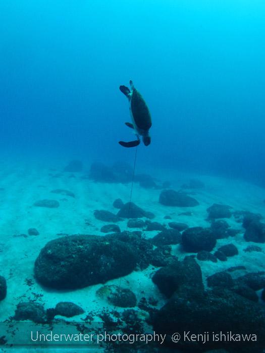 釣られるアオウミガメ、、、、。_b0186442_234524.jpg