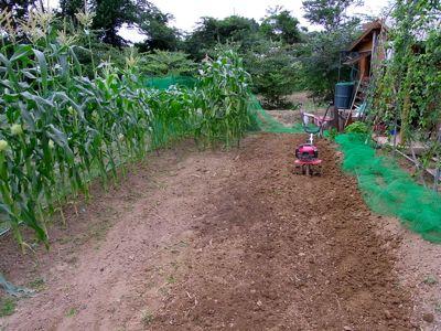 トウモロコシとニホンミツバチ_c0063348_757503.jpg