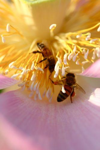 蓮の花、満開です。カエルも蜂も大喜び_d0148902_0153429.jpg
