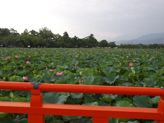 故郷の風景 高田公園の蓮_f0024992_10372725.jpg