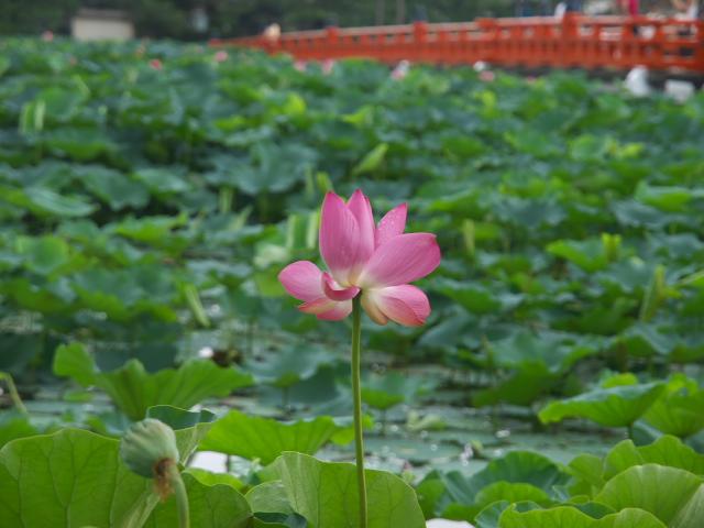 故郷の風景 高田公園の蓮_f0024992_10374334.jpg