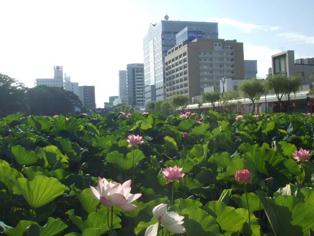 千秋公園(せんしゅう)の蓮の花_f0019498_21353137.jpg