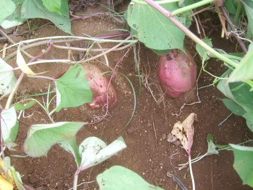 さつまいもの初収穫...._b0137932_18345377.jpg