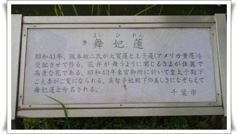 舞妃蓮と日中友誼蓮、どちらももとは大賀ハス_b0175688_20127100.jpg