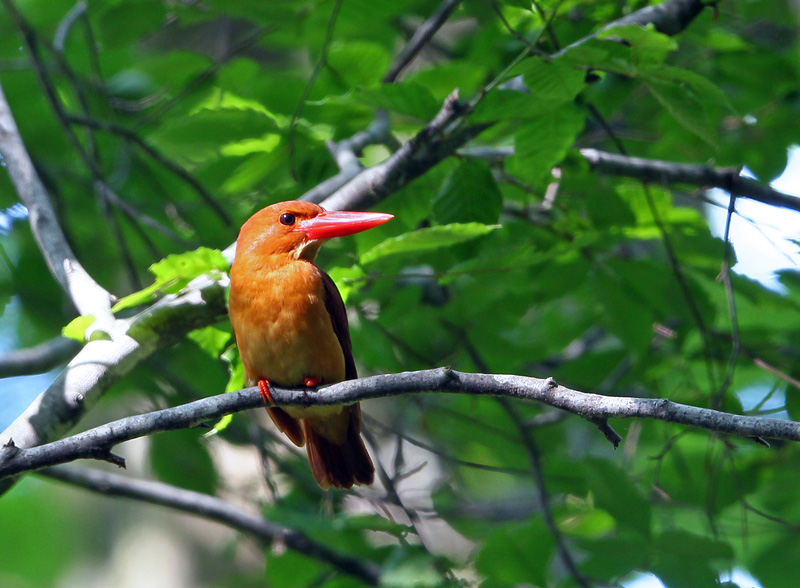 赤い鳥「アカショウビン(赤翡翠)」♪_d0195897_12305097.jpg