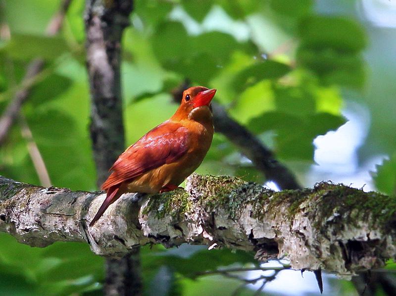 赤い鳥「アカショウビン(赤翡翠)」♪_d0195897_12312521.jpg