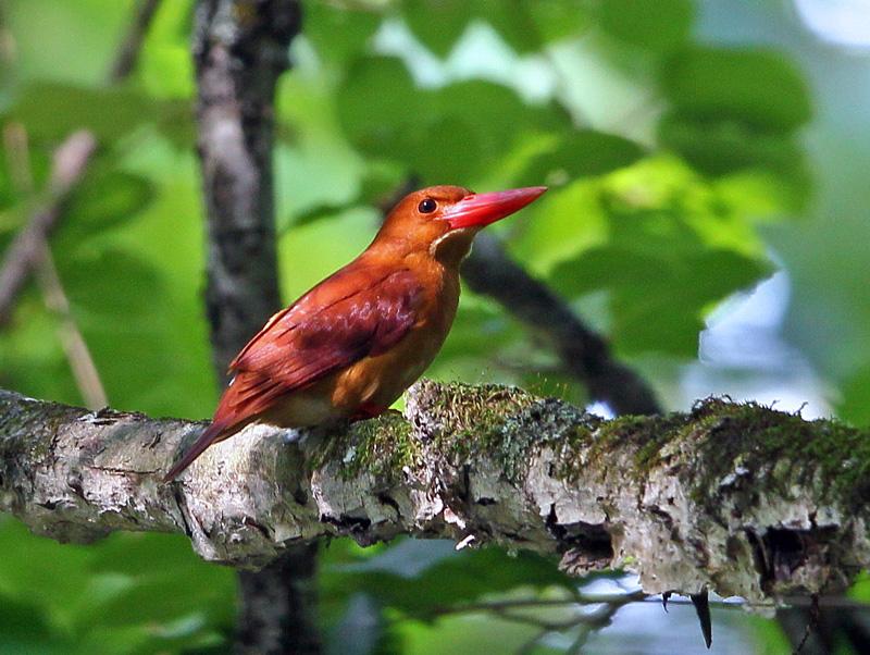 赤い鳥「アカショウビン(赤翡翠)」♪_d0195897_12313778.jpg