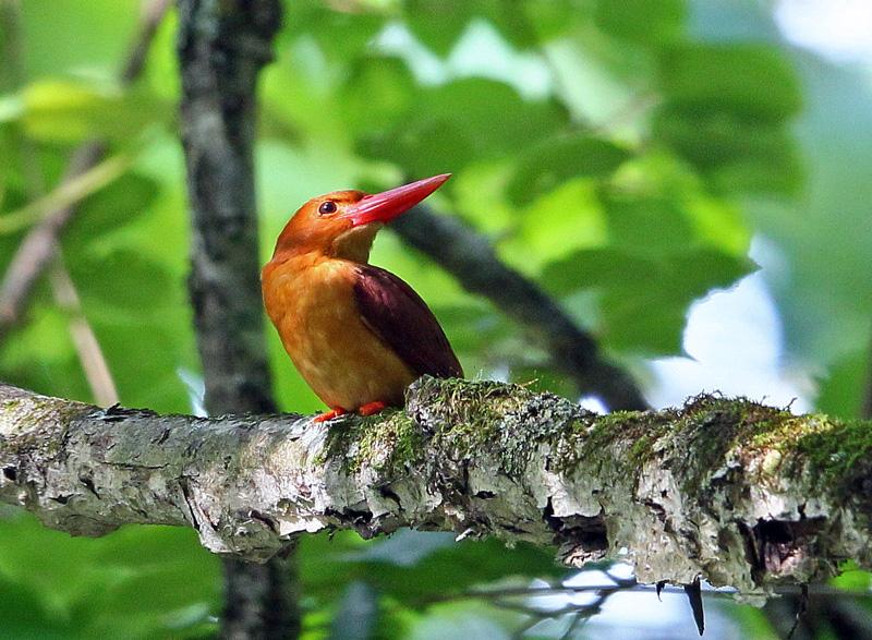 赤い鳥「アカショウビン(赤翡翠)」♪_d0195897_1232156.jpg