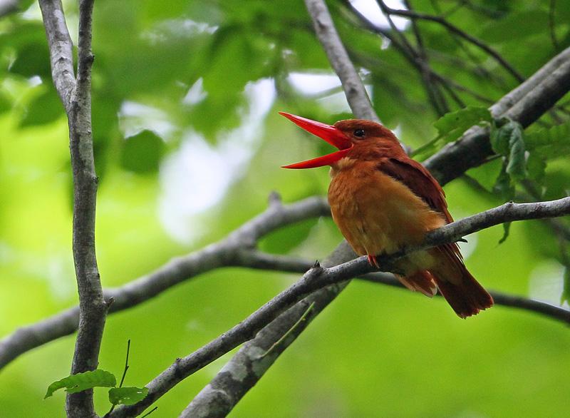 赤い鳥「アカショウビン(赤翡翠)」♪_d0195897_12324945.jpg