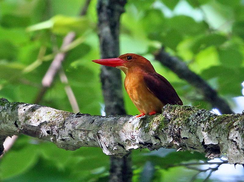 赤い鳥「アカショウビン(赤翡翠)」♪_d0195897_1232530.jpg