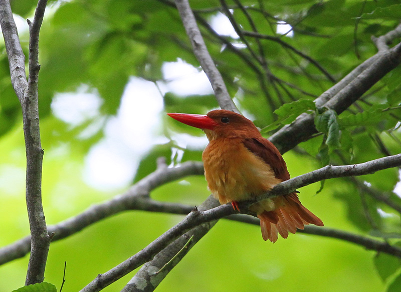 赤い鳥「アカショウビン(赤翡翠)」♪_d0195897_12365698.jpg