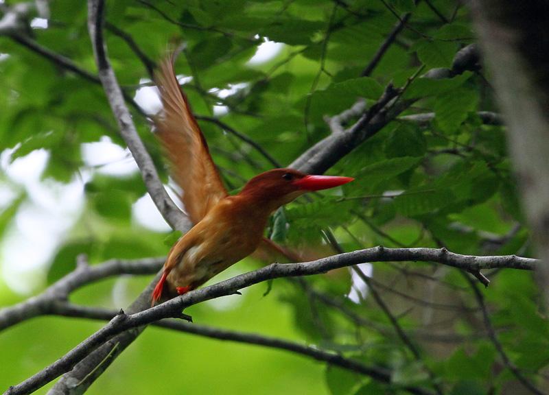 赤い鳥「アカショウビン(赤翡翠)」♪_d0195897_12373663.jpg