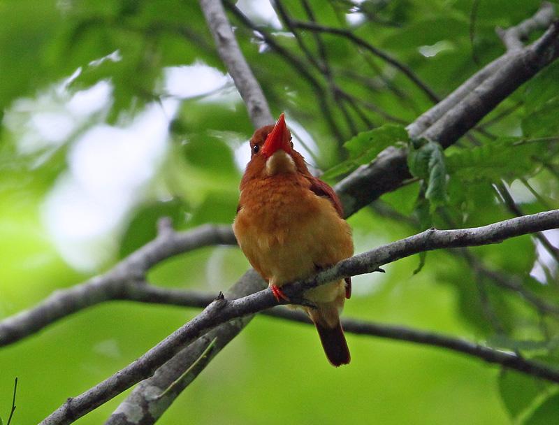 赤い鳥「アカショウビン(赤翡翠)」♪_d0195897_123787.jpg