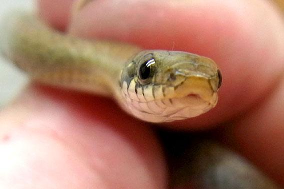 ヒバカリヘビ