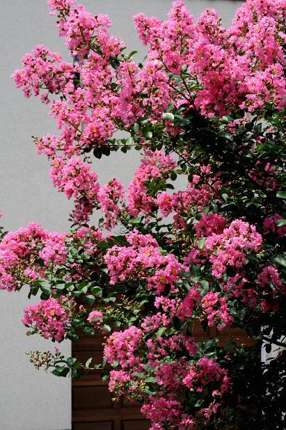 夏の花 _d0150720_7292762.jpg