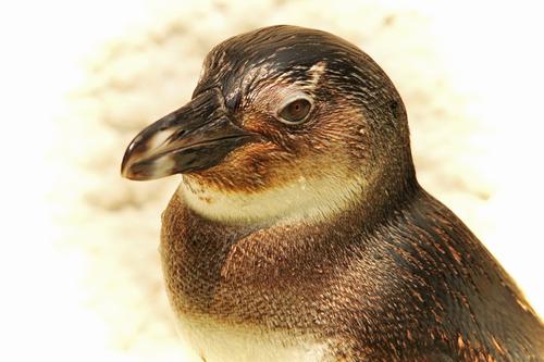 ケープペンギン:African Penguin_b0249597_52098.jpg